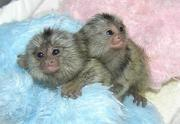 AFFECTIONATE BABY MONKEYS  FOR ADOPTION