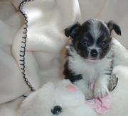 adorable purebred Chihuahuas
