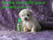 Moodle & Cavoodle & Adult cavalier Female purebred FROM $500